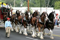 Budweiser Clydesdale horses by Serrator, via Flickr