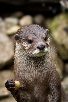 Otter is momentarily distracted from his stone - July 6, 2013