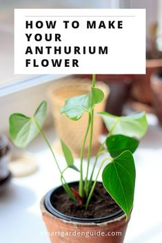 7 ways to make your anthurium bloom. If your Flamingo Flower isn't blooming, try these 7 tips to fix your plant. Houseplant care tips to get your Anthurium thriving again. care tips Flamingo Plant, Flamingo Flower, Smart Garden, Garden Care, Anthurium Care, Indoor Gardening Supplies, Container Gardening, Easy House Plants, Rainforest Plants