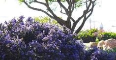 Ceanothus Dark Star, Small Leaf Mountain Lilac- prefers coastal climates-grows 6 ft tall, 8 ft wide
