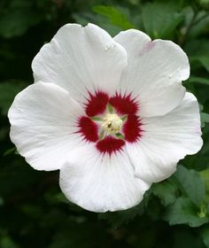 Rose of Sharon - this is a delightful shrub.  It blooms a little late for Colorado. Had them all along the back fence in Lubbock. Bloomed earlier there - probably because of the heat.   An erect, deciduous shrub, rose of Sharon produces colorful, cup-shaped flowers in summer and fall. Other common names include shrub althea and Chinese hibiscus.