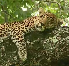 Luxury Travel - Magnificent leopard on @wildearth live safari drive in Djuma Game Reserve Sabi Sands #safari #Africa #southafrica #luxurytravel #travel #leopard #instyleti