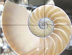 ¿Qué es la sucesión de Fibonacci o regla áurea?  El llamado número áureo, número de oro o divina proporción.