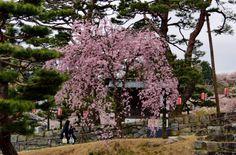 365:「城の入り口の坂にある一本の桜です。」@霞ヶ城公園