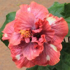 Abolina Hibiscus