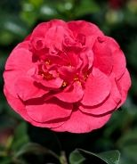 'Kramer's Supreme' Camellia japonica  (Bought @ The Garden Center in July 2013)