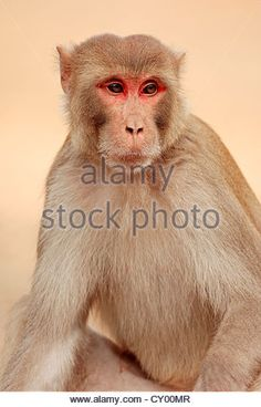 Image result for rhesus macaque male