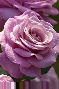 Beautiful Dark Purple Roses Images