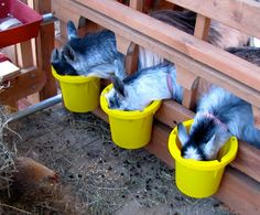 #goatvet likes fence-line feeders as they prevent faecal contamination and also prevent bullies from getting the feed of smaller goats. - from The Henry Milker website