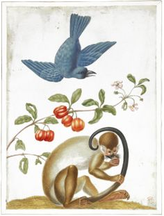 A blue bird (indigo bunting) with a branch of the Suriname cherry, and a squirrel monkey holding its tail, from an album entitled 'Merian's Drawings of Surinam Insects &c' Watercolour, with bodycolour, heightened with white, on vellum. Attributed to: Dorothea Graff. Formerly attributed to: Maria Sibylla Merian. Date1705 (after).