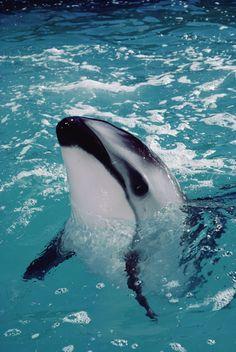 Dusky Dolphin (Lagenorhynchus obscurus) portrait Photo by Flip NIcklin