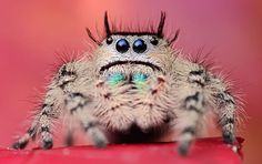 jumping spider- it looks like a fantasy alien creature drawing!