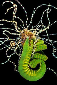 A Polychaete Terebellidae. (Photo by Alexander Semenovs/Caters News)