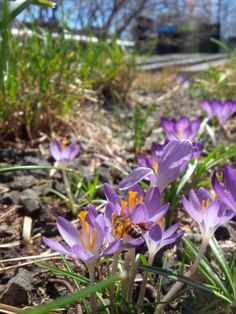 The crocus is an important food source for pollinators, such as this hungry bee.
