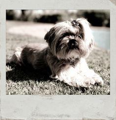 Miss Daisy 🐶 Framed with #PolaroidFx #Polaroid #Pet #Dog #LhasaApso