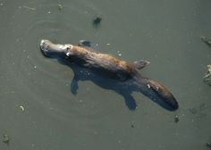 Platypus BrokenRiver QLD Australia - Platypus - Wikipedia, the free encyclopedia