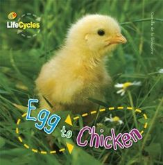 Egg to Chicken Life Cycle Book I Clever Classroom blog