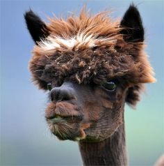 funny alpacas with awesome amazing hilarious hair (16)