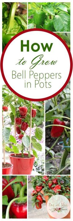 How to Grow Bell Peppers, Vegetable Gardening, Vegetable Gardening TIps, How to Grow Peppers in Pots, Container Gardening, How to Grow Vegetables in Containers, Container Gardening Hacks, Gardening, Gardening 101.