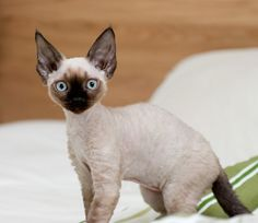 To have at least 2 Devon Rex cats.