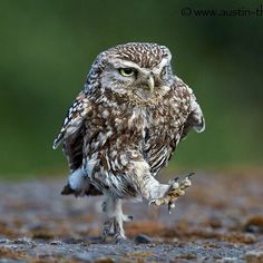 Best Funny Animals Birds Pictures Of 41 Ideas Baby Owls, Cute Baby Animals, Funny Animals, Beautiful Owl, Animals Beautiful, Owl Bird, Pet Birds, Rapace Diurne, Funny Owls