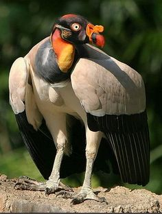 The king vulture is a large bird found in Central and South America. It is a member of the New World vulture family Cathartidae. This vulture lives predominantly in tropical lowland forests stretching from southern Mexico to northern Argentina Kinds Of Birds, All Birds, Birds Of Prey, Little Birds, Love Birds, Scary Birds, Pretty Birds, Beautiful Birds, Animals Beautiful