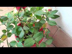 Мои цветы гвоздика и роза. My flowers carnation and rose