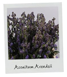 Aconitum Arendsii | New Arrival | Available in our webshop www.holex.com…