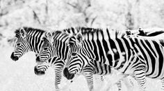 Black And White Zebra Print S Hd High Definition