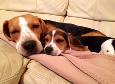How to train a beagle ? by L&G PET What to do if the Beagle is not obedient? The owners of pet dogs hope that their dogs ca. Cute Beagles, Cute Puppies, Cute Dogs, Dogs And Puppies, Doggies, Corgi Puppies, Art Beagle, Beagle Puppy, Amor Animal