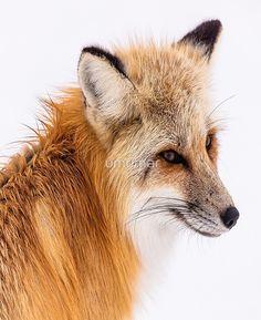 13 Tips To Escape Wild Animals Attack - wildlife Wild Animals Attack, Animal Attack, Fox Pictures, Cute Animal Pictures, Black Eyed Peas, Grey Fox, Cute Animal Videos, Cute Animal Drawings, Wildlife Nature