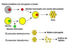 genes a clonar