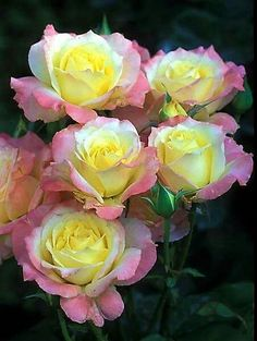 """""""There is simply the rose; it is perfect in every moment of its existence.""""   Ralph Waldo Emerson"""