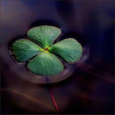 four leaf clover #goodluckcharm