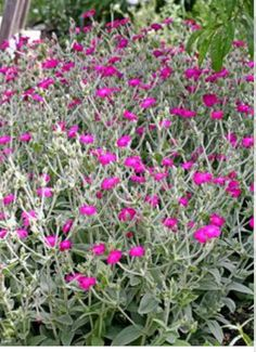 """Lychnis coronaria """"Rose Campion"""" easy to grow from seed and such a pretty silver accent color. and no prickers Dry Garden, Garden Plants, Rose Campion, Backyard Plan, Sun Plants, Mediterranean Garden, Colorful Plants, Growing Seeds, Types Of Flowers"""