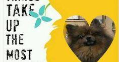 ♥♥♥ #pomeranian #dogs
