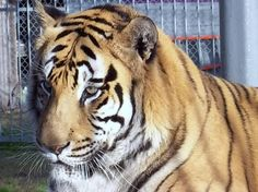 #ILoveWhoIAmBecause even though I'm a #tiger exploited @ a truck stop ~ I STILL wear my stripes proudly!