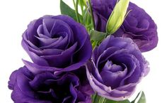 Love these purple lisianthus