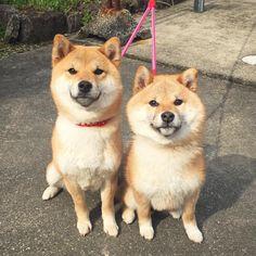 @tama7653のInstagram写真をチェック • いいね!4,901件 Cute Baby Animals, Animals And Pets, Cute Puppies, Dogs And Puppies, Pet Dogs, Dog Cat, Dog Breeds List, Japanese Dogs, Akita Dog