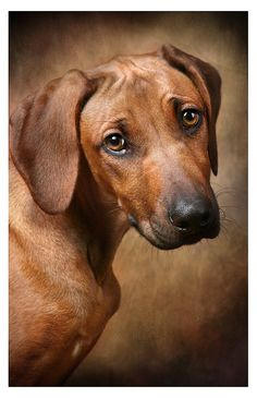 Rhodesian Ridgeback puppy*
