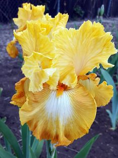 Welcome to Garden! More than 400 varieties of Tall Bearded Iris await you this season online and at our garden in Denver. Take a walk through … Iris Flowers, Types Of Flowers, Exotic Flowers, Amazing Flowers, Yellow Flowers, Colorful Flowers, Planting Bulbs, Planting Flowers, Iris Garden