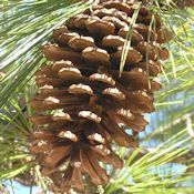 LongLeaf Pine Cones - More ideas from DriedDecor.com