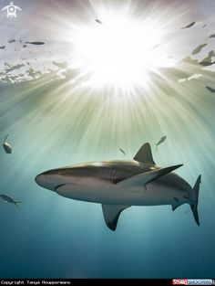Caribbean Reef Shark. most popular shark for shark diving. Shark attack species are difficult to know because people who are attacked most of the time cannot completely identify the sharks that bit them.