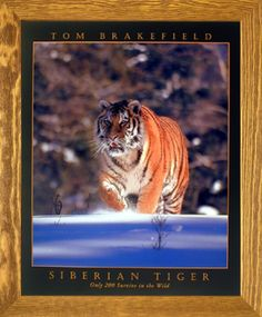 Bring home a bit of wildlife adventures with this wonderful Siberian tiger in snow Tom Brakefield Wildlife Animal framed art poster. The wooden brownrust frame of this poster will beautifully highlight the print. The frame is made from solid wood measuring 19x23 inches with a smooth gesso finish. Impact posters gallery also offers cheap frames art which are perfect for decorators on a budget. Hurry up! Make your order today.