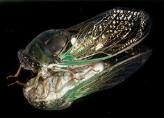 Southern Dusky-winged Cicada (Southern Swamp Cicada) - Neotibicen tibicen
