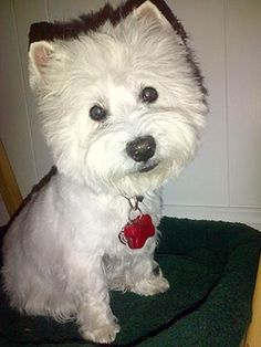 Hi, my name is Deetra. My Mom loved me with all her heart. Then she got sick and couldn't take care of me. So she gave me to Westie Rescue Of California. I'm 7 yrs. old, a playful happy Westie girl. I give lots of kisses! I have something called diabetes, so I need 2 insulin shots per day, that's all. Will you help me find my new forever family? Love, Deetra❤ {0812} Click here to see my page~ http://www.westierescueca.com/adoptable/2012-adoptable/deetra0812.html #WestieRescueCalifornia
