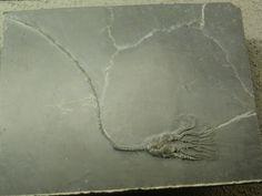 zeelelie stekelhuidigen: zeelelies