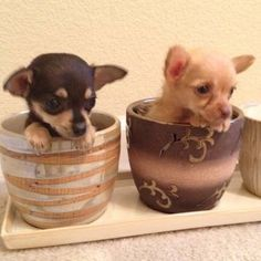 Teacup Chihuahua Puppies   Female Teacup Chihuahua Puppy for Sale in Alameda, California ...