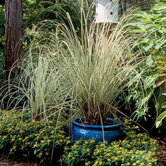 Grasses in containers add soft texture and billowing form when placed directly into a border. 'Morning Light' silver grass in a blue glazed pot lights up in the garden as sun strikes the foliage.