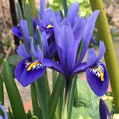 Humphreys Garden Iris Reticulata Harmony x 100 Bulbs bulbi da fiore Size Iris Flowers, Botanical Flowers, Large Flowers, Blue Flowers, Iris Reticulata, Dwarf Iris, Deer Resistant Perennials, Raspberry Plants, Next Garden